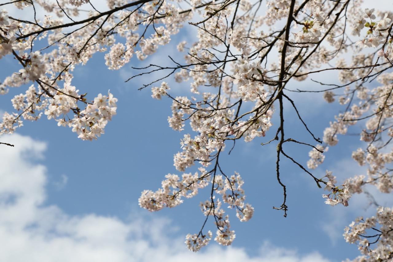 März: Weiße Blüten vor blauem Himmel