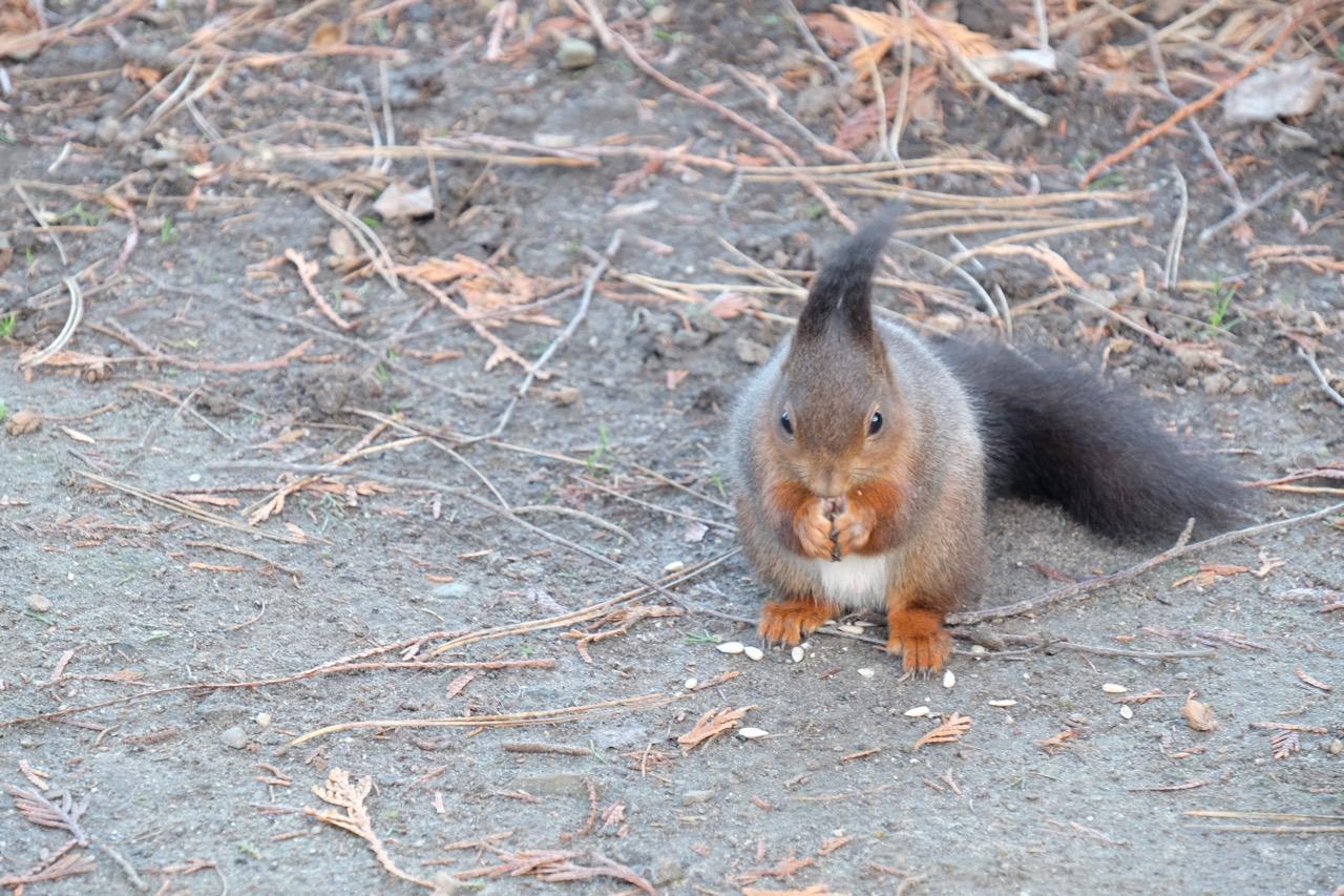 Natur: Eichhörnchen mit Sonneblumenkernen