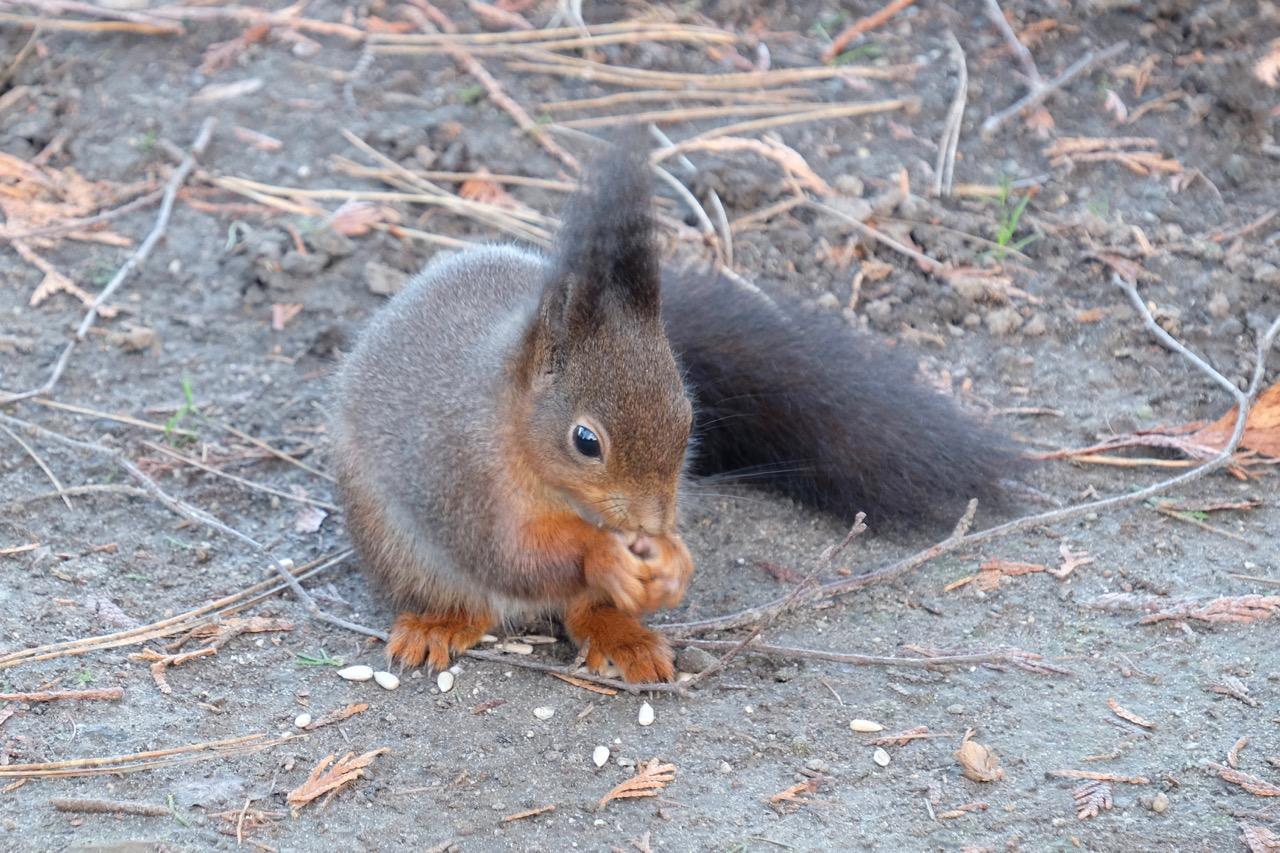 Natur: Eichhörnchen isst Sonnenblumenkerne