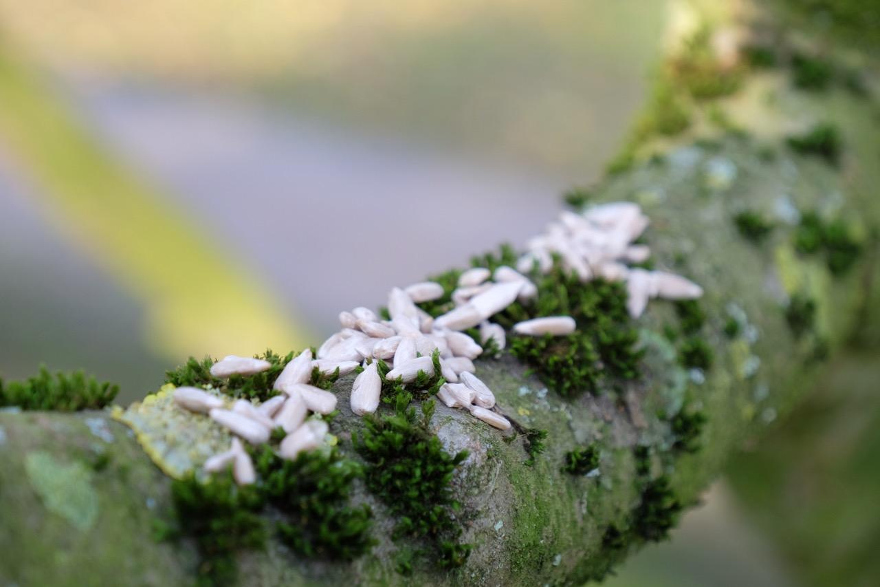 Natur: Sonnenblumenkerne auf einem vermosten Ast