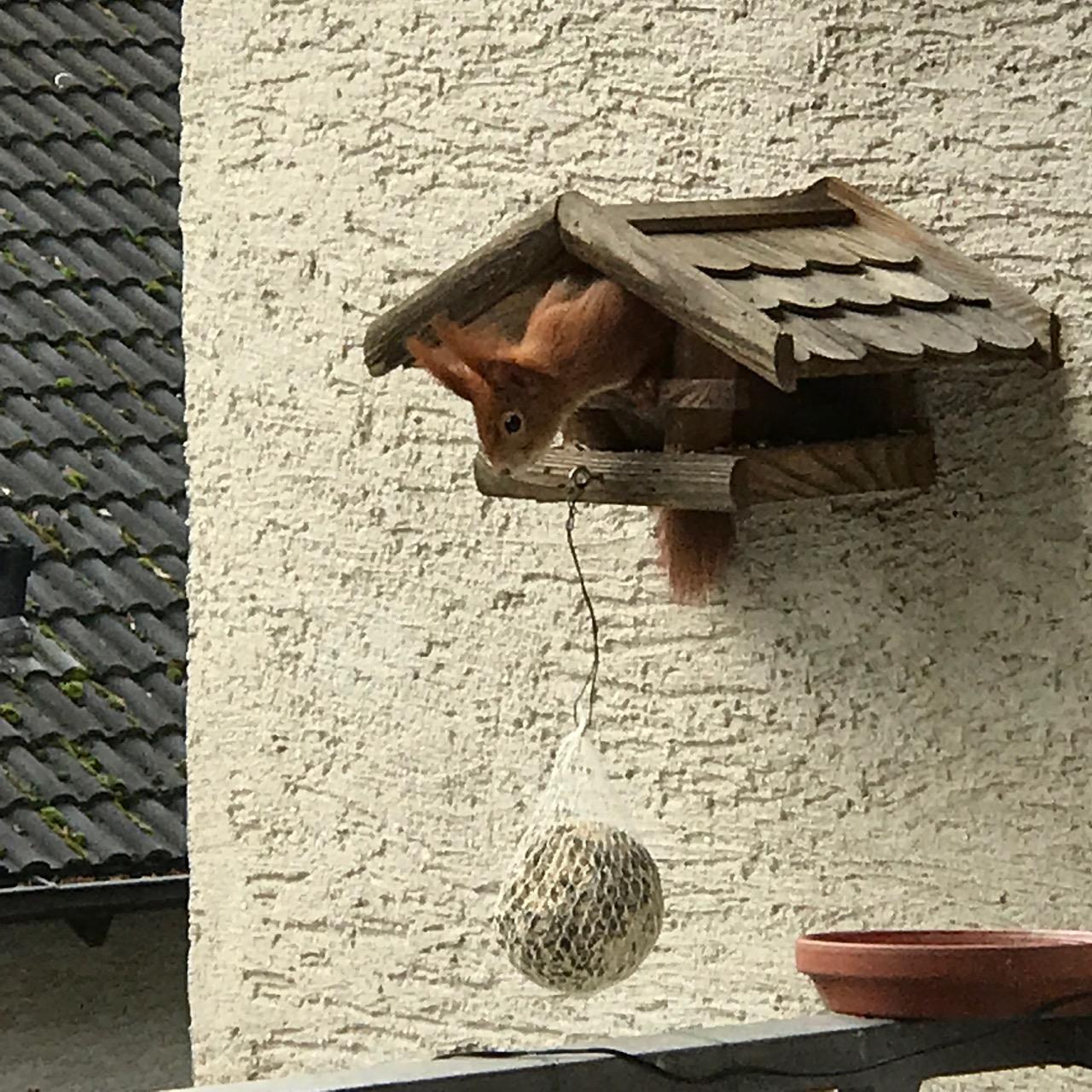Eichhörnchen guckt aus dem Vogelhaus