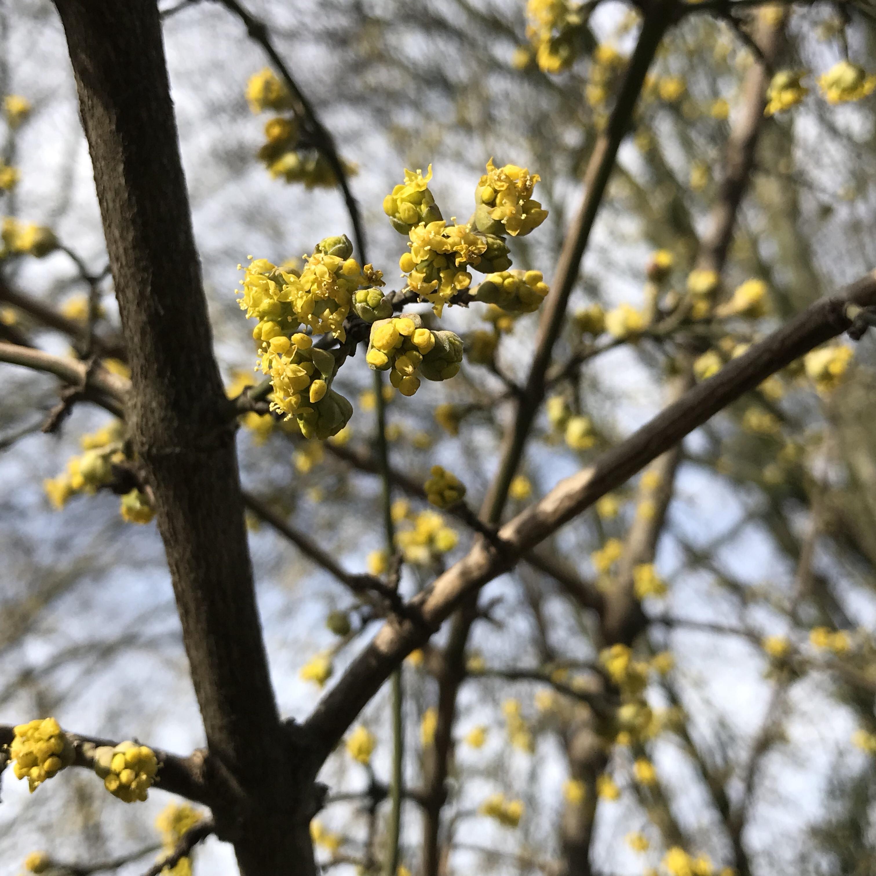 Frühling: Gelbe Blüten am Baum vor blauem Himmel