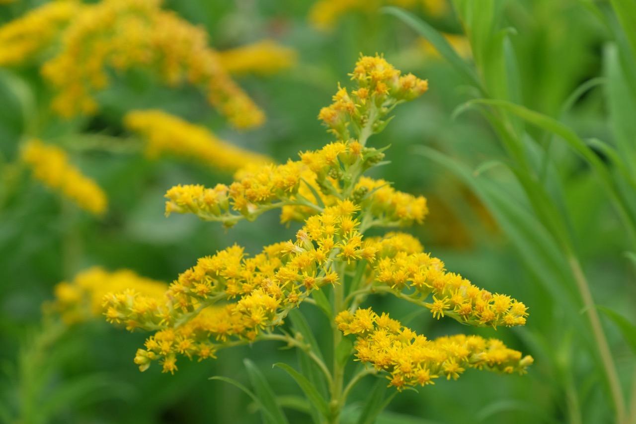 Gelbe Blume im Rombergpark