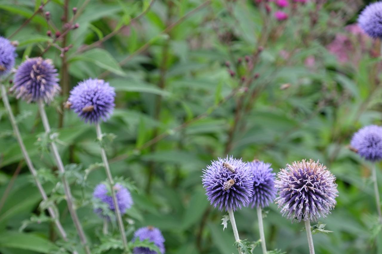 Blaue Disteln im Rombergpark