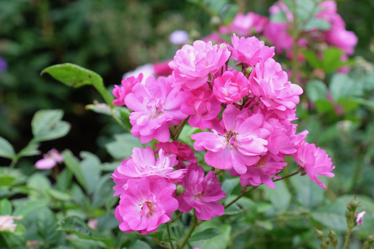 Pink-farbene Rosen im Rombergpark