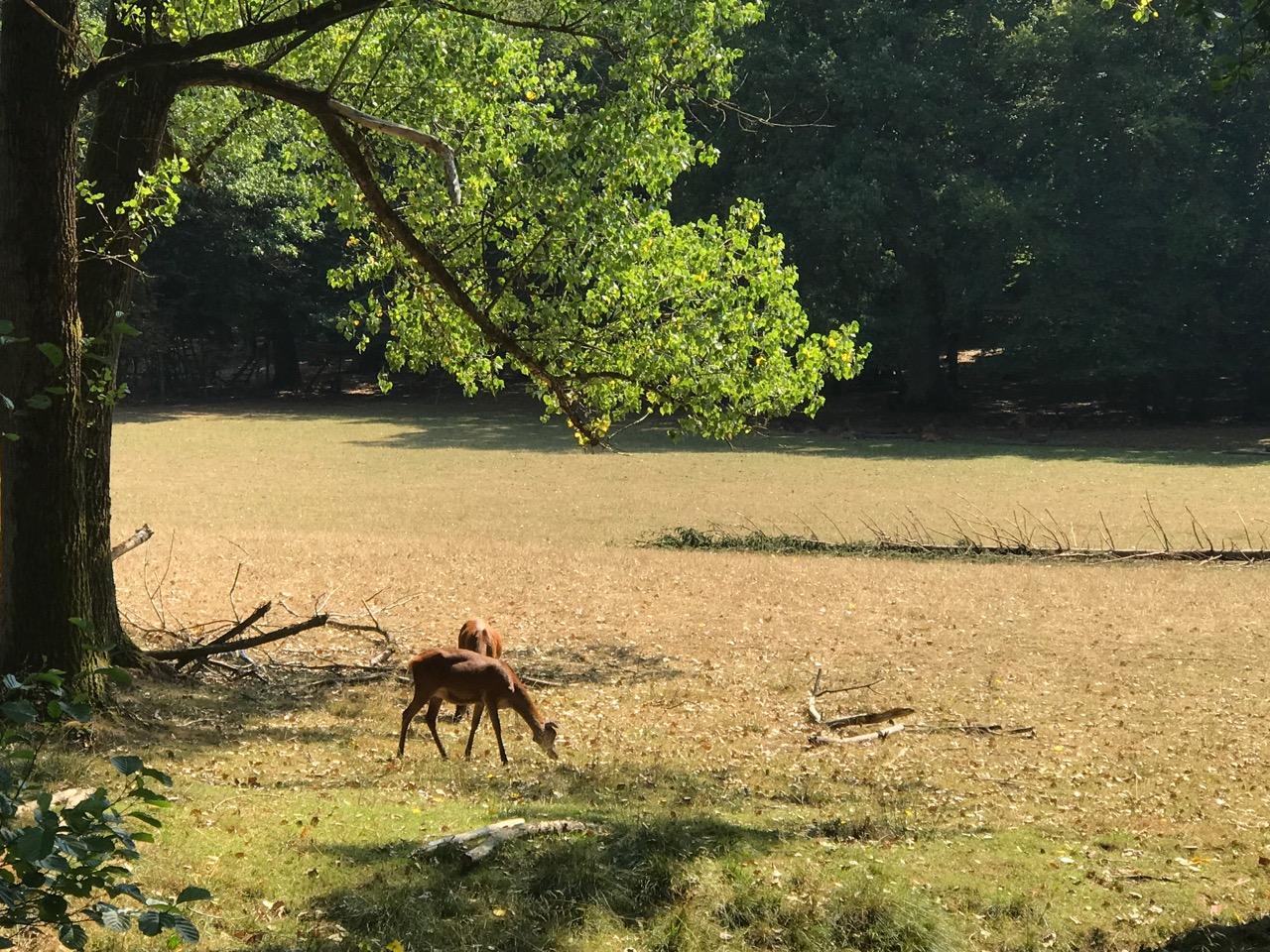 Wildwald Vosswinkel: Zwei Rehe unter Bäumen