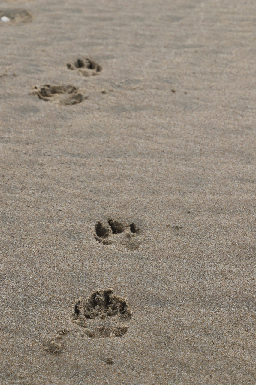 Noordwijk Strand: Hundespuren im Sand