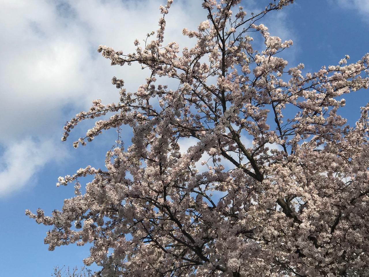 Frühling: Kirschblüten vor blauem Himmel