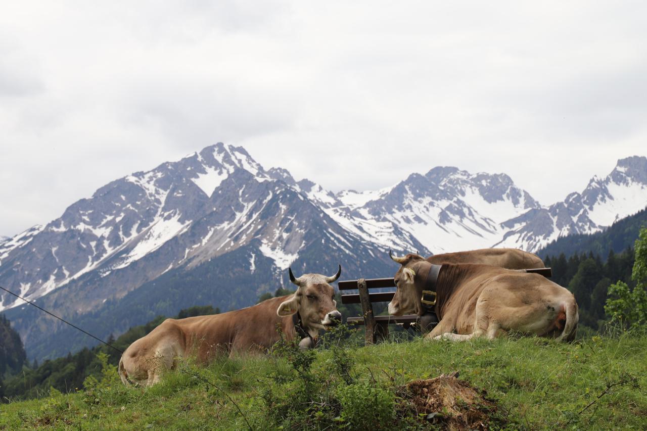 Oberstdorf Kühe