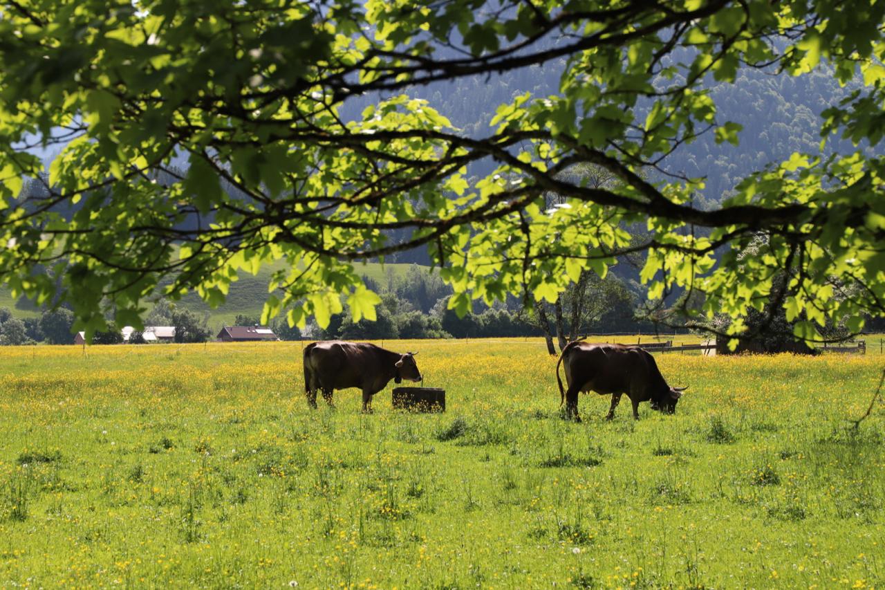 Oberstdorf: Kühe unter Bäumen