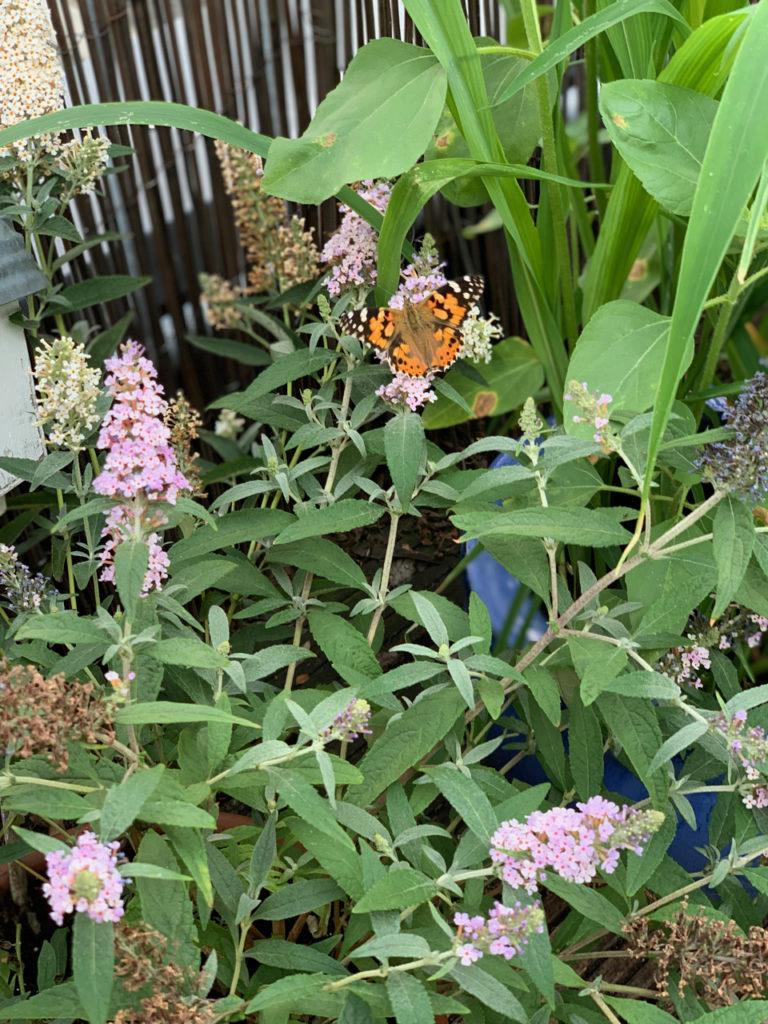 Schmetterling im Flieder