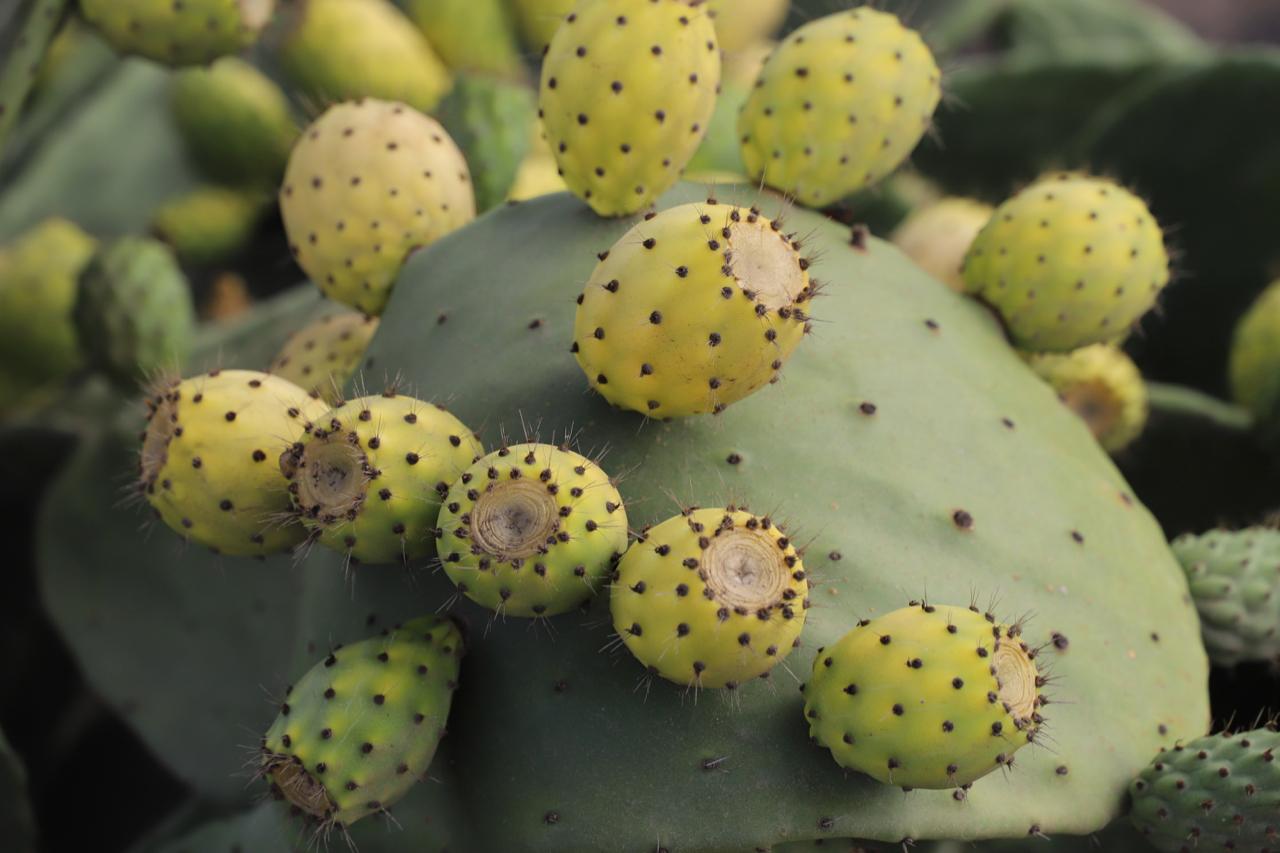 Lanzarote: Kaktus