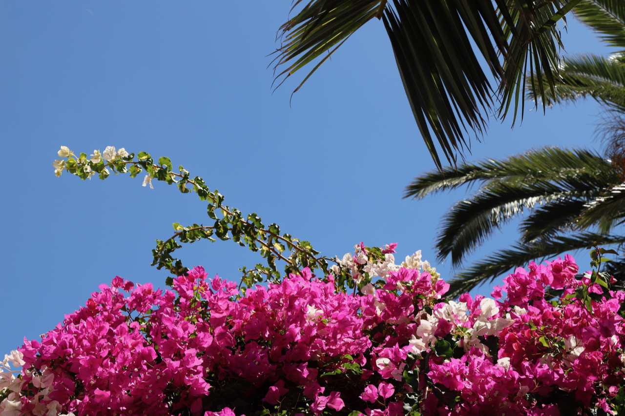 Bougainvillea vor blauem Himmel neben Palmenblättern