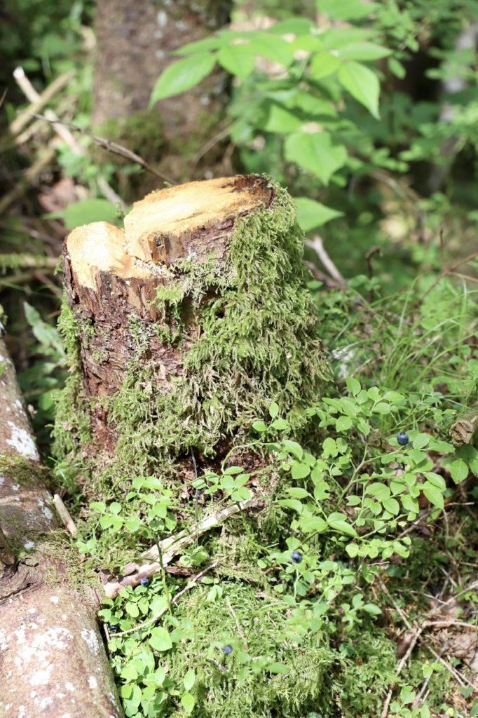 Zauberwald Ramsau: Vermooster Baumstumpf und Blaubeeren