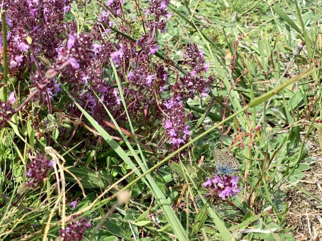 Lüneburger Heide: Lila-blühende Pflanze mit blauem Schmetterling