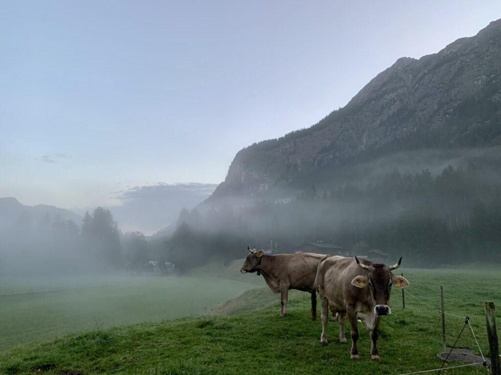 Kühe in der morgendlich diesigen Bergwelt.